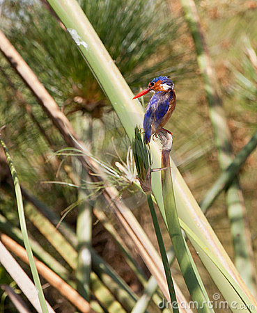 The Malachite Kingfisher