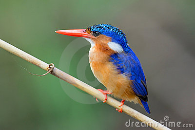 Malachite Kingfisher
