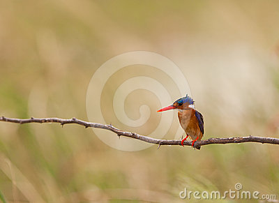 A Malachite KIngfisher