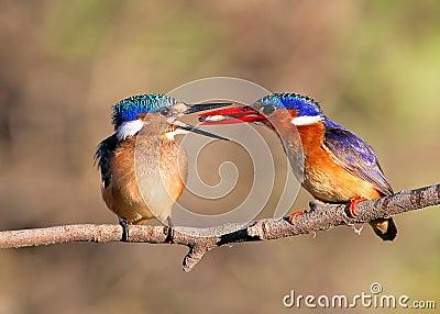 Malachite Kingfishers feeding a fish