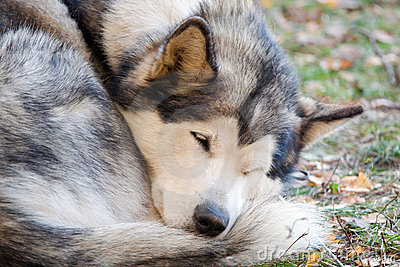 спать аляскского malamute