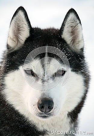 Malamute dog portrait