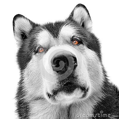 Malamute dog portrait