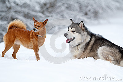 Malamute And Eskimo Dog Royalty Free Stock Photo - Image: 28564235