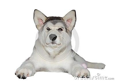 Malamute puppy dog