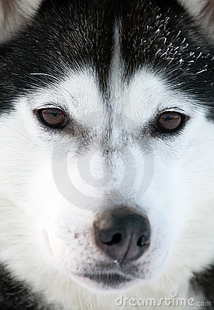 Malamute sled dog