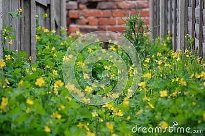 Malas hierbas amarillas en el callejón 8