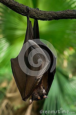 Free Malayan Flying Fox Royalty Free Stock Photography - 113150017