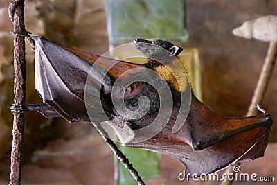 Malayan flying fox bat