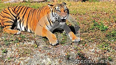 Malayan tiger closeup