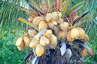 Malayan Yellow Dwarf (MYD) Coconuts