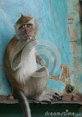 Malaysian Monkey II