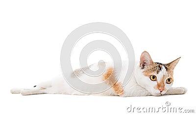 Malaysian sad short haired cat