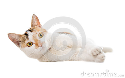 Malaysian short haired cat lying