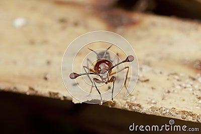 Malaysian Stalk-eyed fly