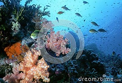 Maldive Shallow Reef