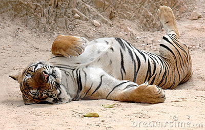 Male adult bengal tiger sleeping,thailand,asia cat