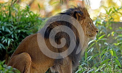 Male adult Lion