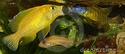 Male african Cichlids fighting