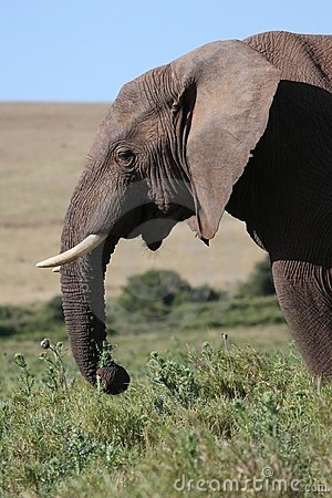 Free Male African Elephant Eating Royalty Free Stock Photos - 21439288