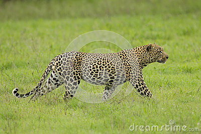 Male African Leopard stalking in South Africa