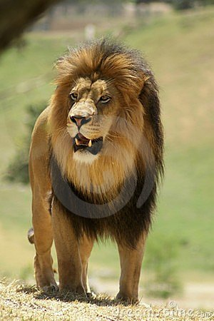 Male African Lion on the prowl