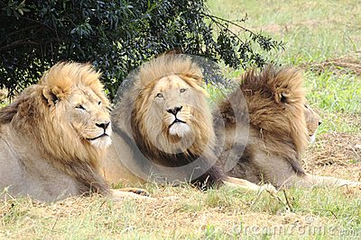 Male african lions