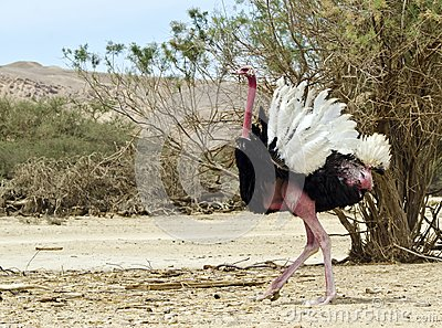 Male of African ostrich (Struthio camelus), Israel