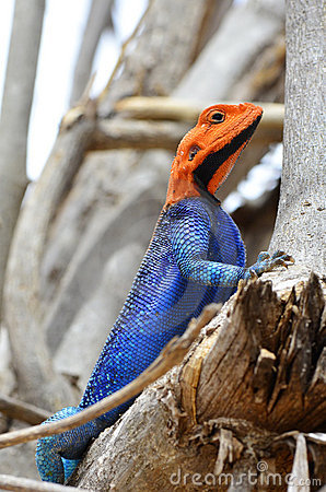 Free Male Agama Lizard Royalty Free Stock Image - 22578616