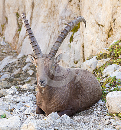Male alpine ibex, Switzerland