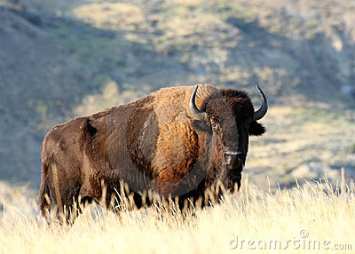 A male American Bison