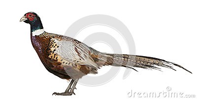 Male American Common Pheasant Stock Image - Image: 24991651