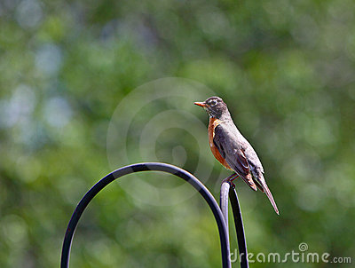 Male American Robins