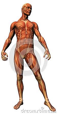 Male anatomy - musculature