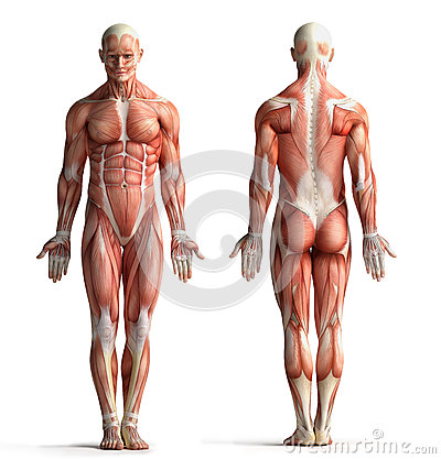 Free Male Anatomy View Stock Photography - 35856872