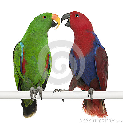 Free Male And Female Eclectus Parrots Royalty Free Stock Photo - 24708595