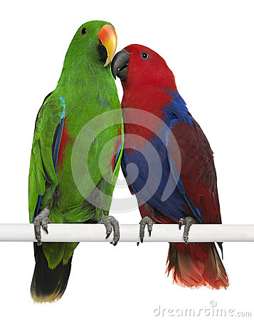Free Male And Female Eclectus Parrots Royalty Free Stock Images - 24991489