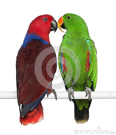 Free Male And Female Eclectus Parrots Stock Photo - 24991490