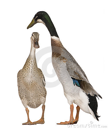 Free Male And Female Indian Runner Ducks Royalty Free Stock Photography - 15287607