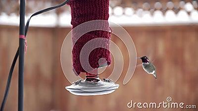 Male Anna's Hummingbird-matning från röda hobbyfeeder i vintertid lager videofilmer