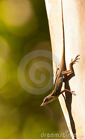 A male Anolis lizard on exhibit