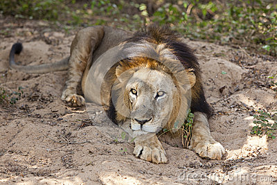 Male asiatic lion.