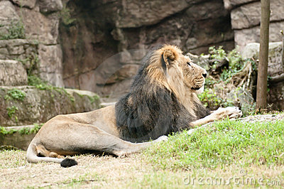 Male Asiatic lion (Panthera leo persica)