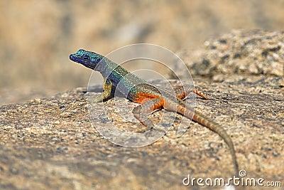Male Augrabies Flat Lizard