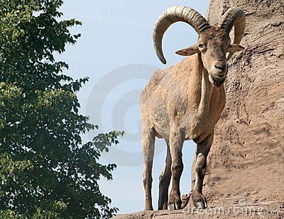 Male Barbary Sheep