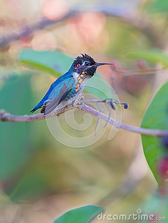 Male Bee Hummingbird on a branch Stock Photo