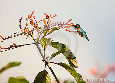 Male Bee Hummingbird in flight