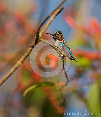 Free Male Bee Hummingbird On A Branch Royalty Free Stock Photos - 40050608