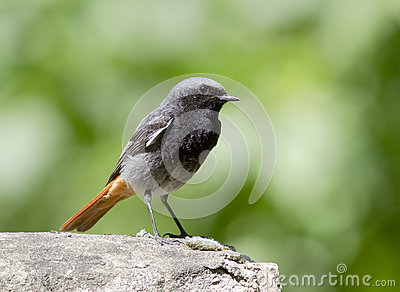 Male Black Redstart.