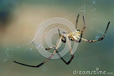 Male Black Widow Spider